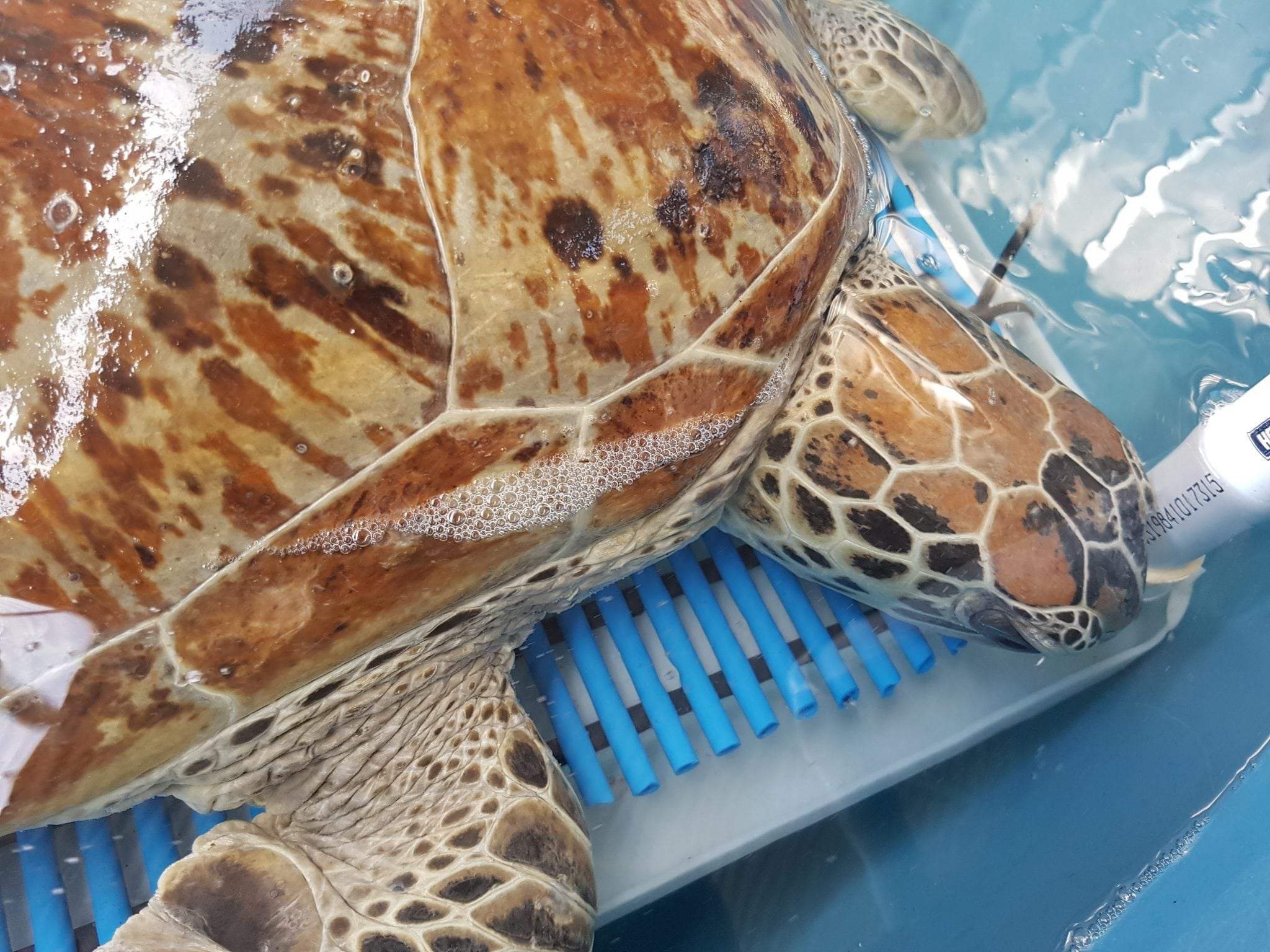 Turtle Rescue – Carlee